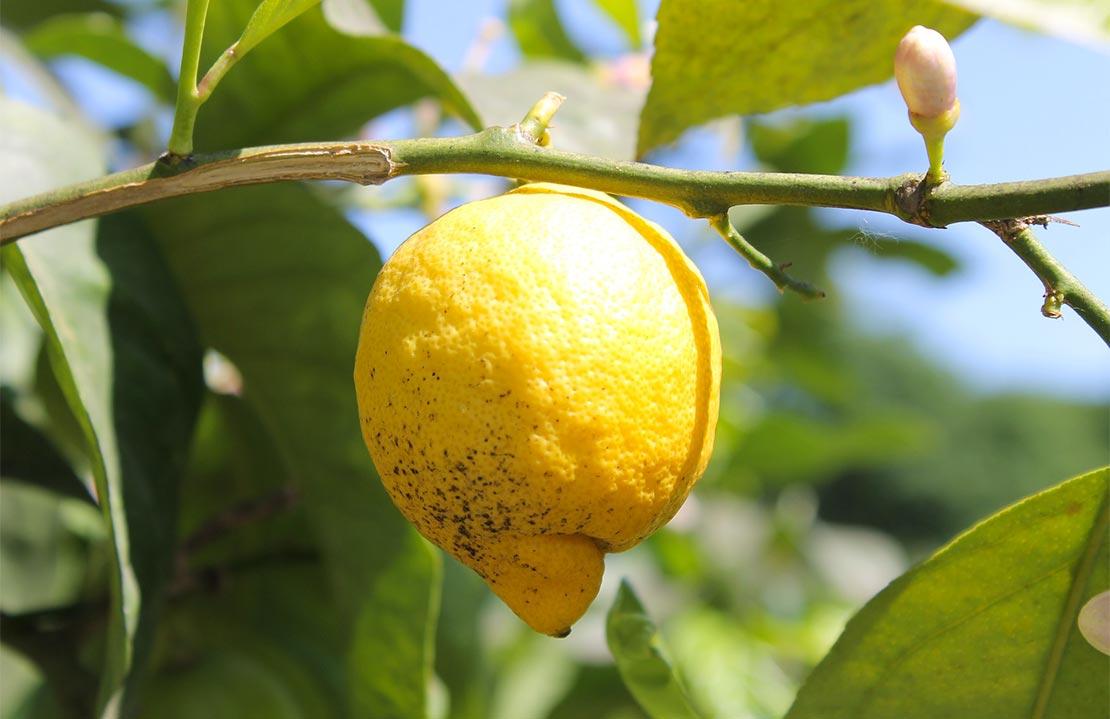 Zitronengärten  Hotel Ilma Gardasee - Limone sul Garda